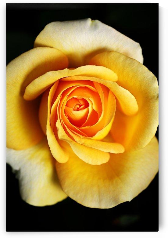 Bright Yellow Rose by Joy Watson