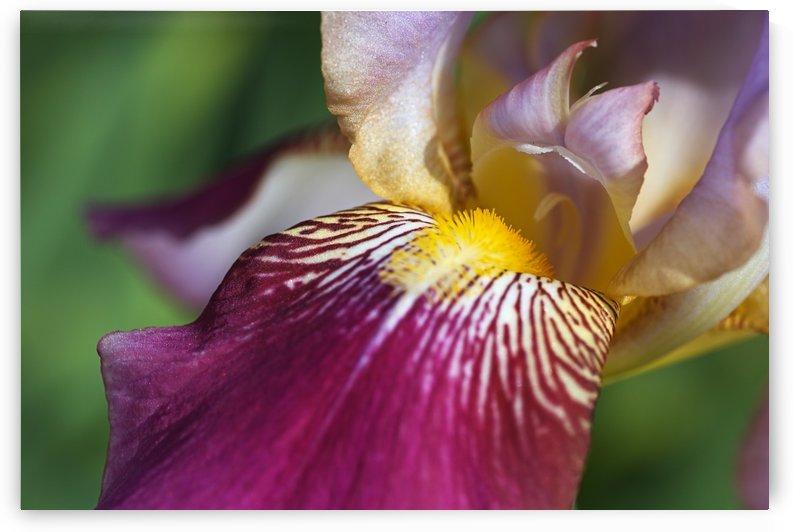 Purple Iris by Joy Watson
