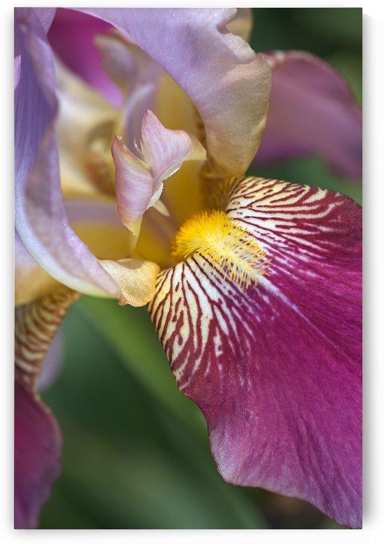 Purple Iris Flower by Joy Watson