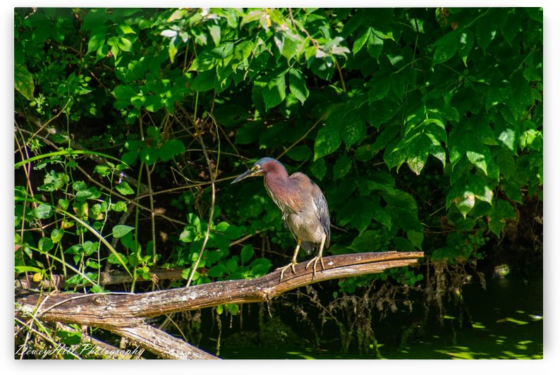 Breakfast time for the Green Heron by DeweyHill Photography