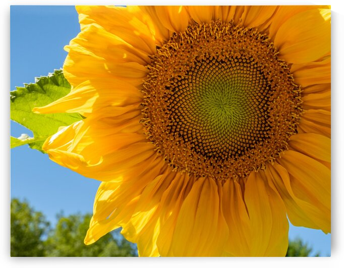 Sunflower 10 by Dave Therrien