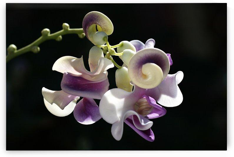 Corkscrew Flower by Joy Watson