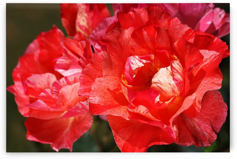 Bright Red Roses by Joy Watson