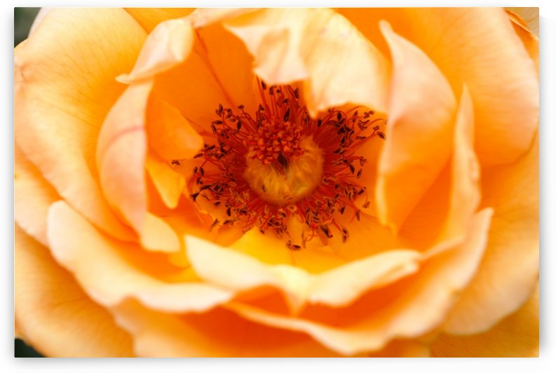 Orange Rose Eye by Joy Watson