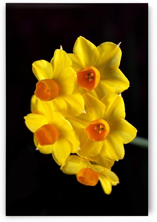 Yellow Jonquils by Joy Watson
