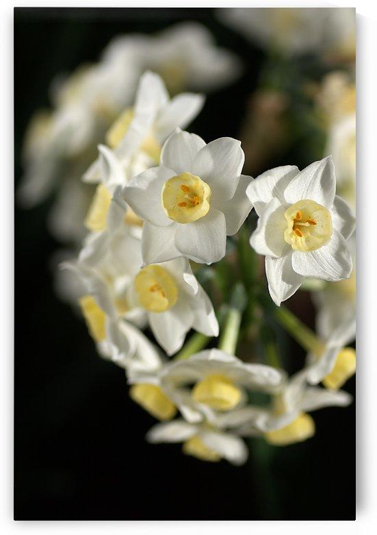Jonquils In White by Joy Watson