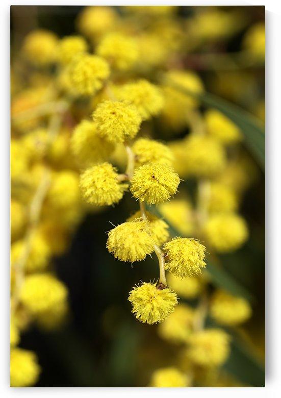 Wattle Tree Yellow Flowers by Joy Watson