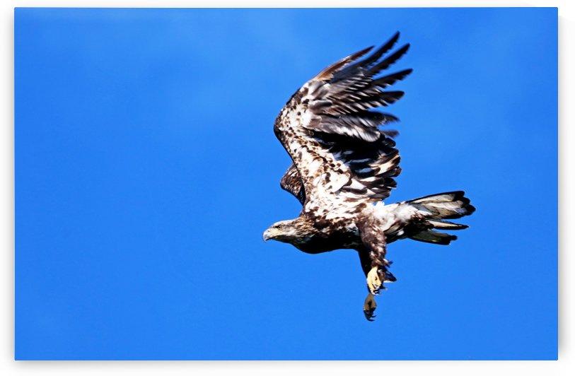 Juvenile Bald Eagle Take Off by Deb Oppermann