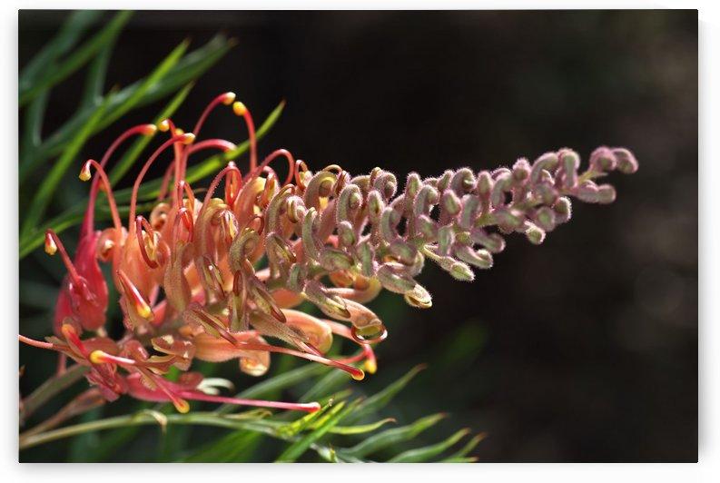 Grevillea Superb Flower by Joy Watson