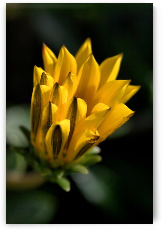 Daisy Bud Of Yellow by Joy Watson