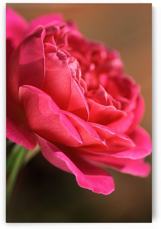 Hot In Pink Rose  by Joy Watson