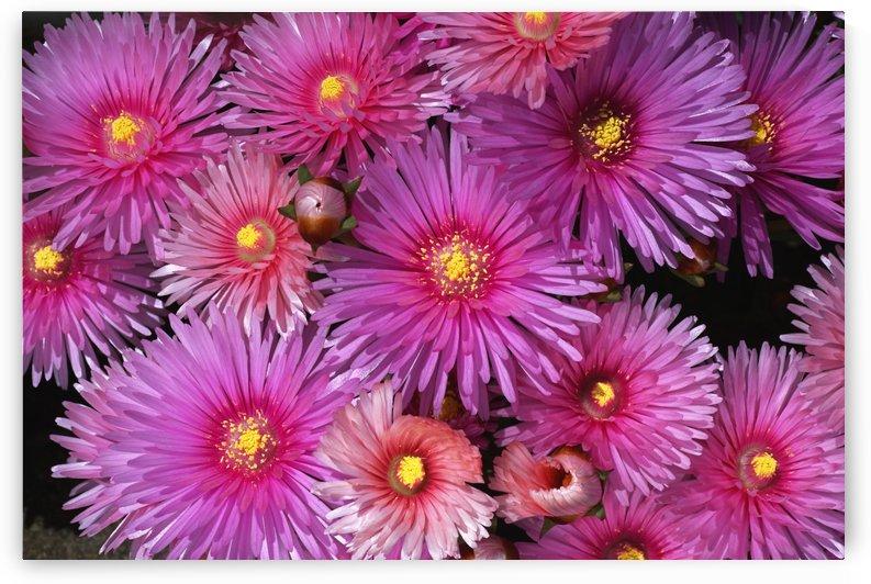 Pink Ice Plant by Joy Watson