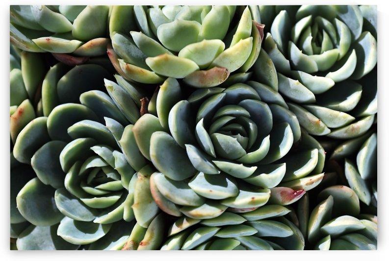 Succulent World by Joy Watson