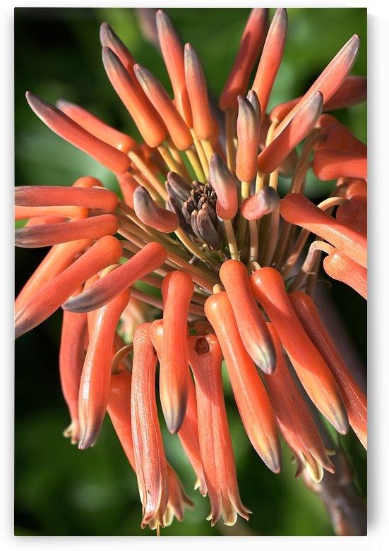Orange Cactus Flower by Joy Watson