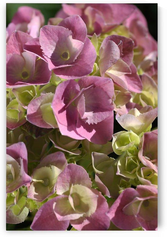 Hydrangea In Pink by Joy Watson