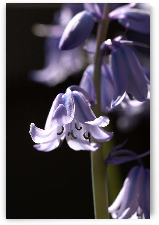 Bluebell Flower  by Joy Watson