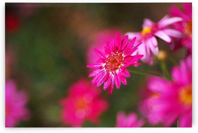Hot Pink Small Daisy by Joy Watson