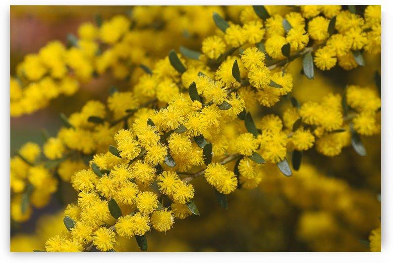 Yellow Wattle Tree Flowers by Joy Watson