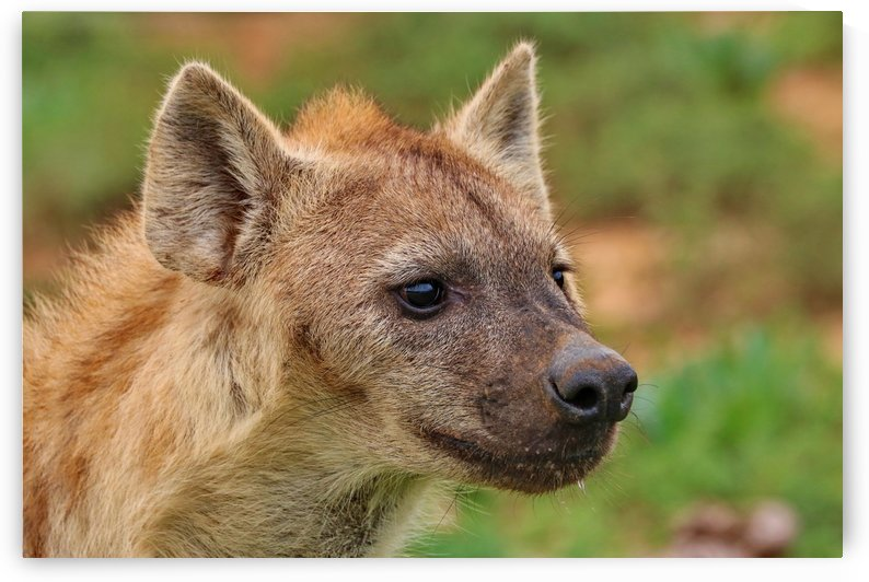 Hyena 169 by Thula-Photography