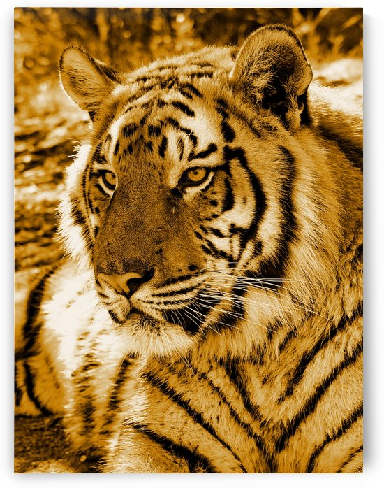 GOLDEN TIGER by Thula-Photography