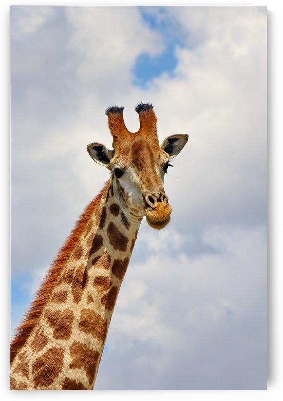 Giraffe Portrait 1460 by Thula-Photography