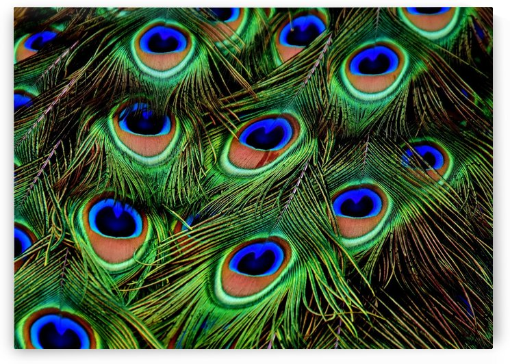 Peacock Feather blue green by Thula-Photography