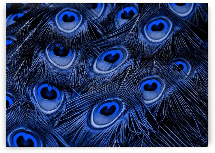Peacock Feather black blue by Thula-Photography