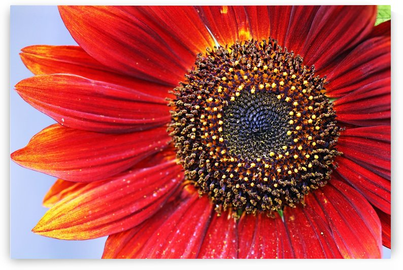 Ruby Red Sunflower by Deb Oppermann