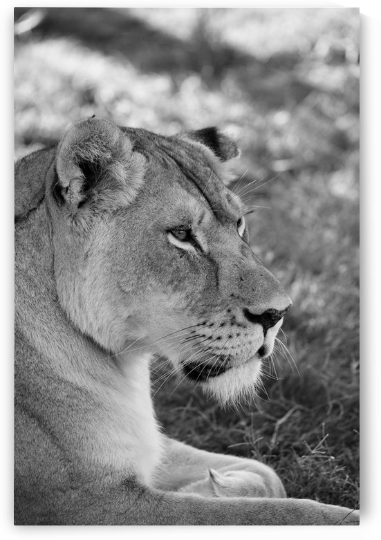 Lioness 7996 b+w by Thula-Photography