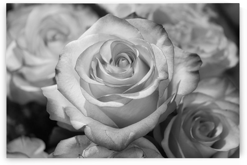 Roses b+w by Thula-Photography