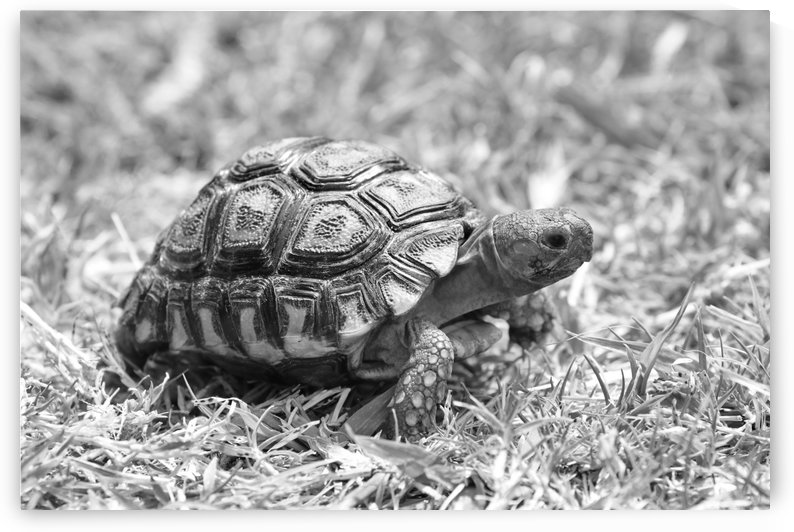 Leopard Mountain Tortoise 5072 b+w by Thula-Photography