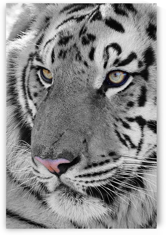 Tiger Face Close up ck by Thula-Photography
