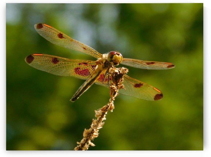 Calico  Pennant Dragonfly by Debbie Caughey