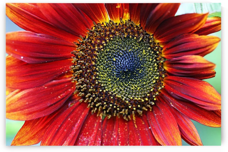 Red Sunflower With Yellow Tips by Deb Oppermann