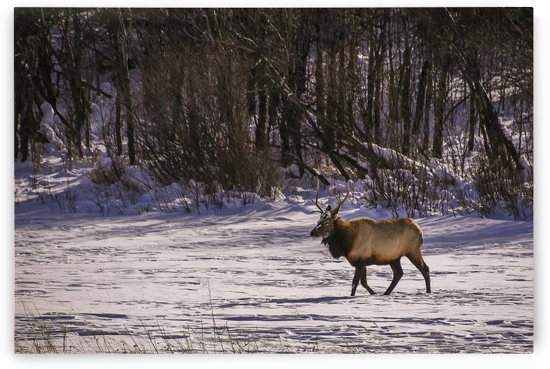 Bull Elk by Scene Again Images: Photography by Cliff Davis