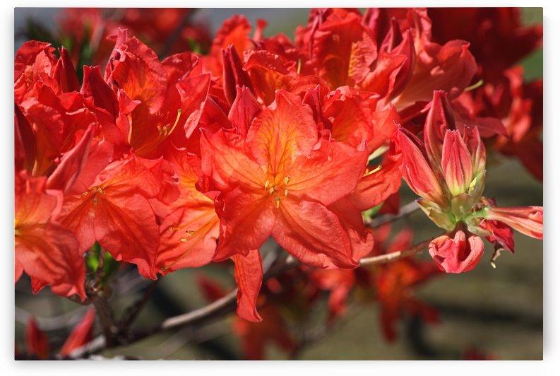 Azalea Flowers Orange by Joy Watson