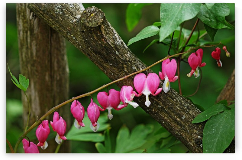 Bleeding Hearts By Arbor by Deb Oppermann