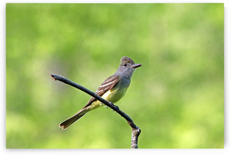Great Crested Flycatcher With Snack by Deb Oppermann