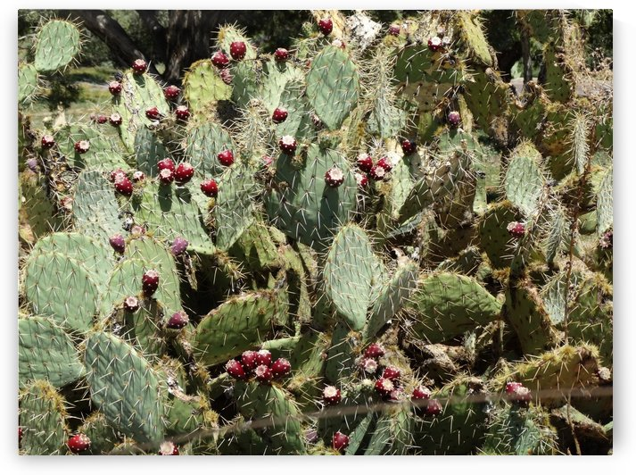 Prickly Pear Cactus  by Emerson