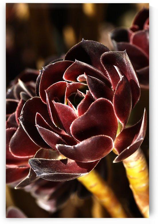Purple Aeonium Succulent by Joy Watson