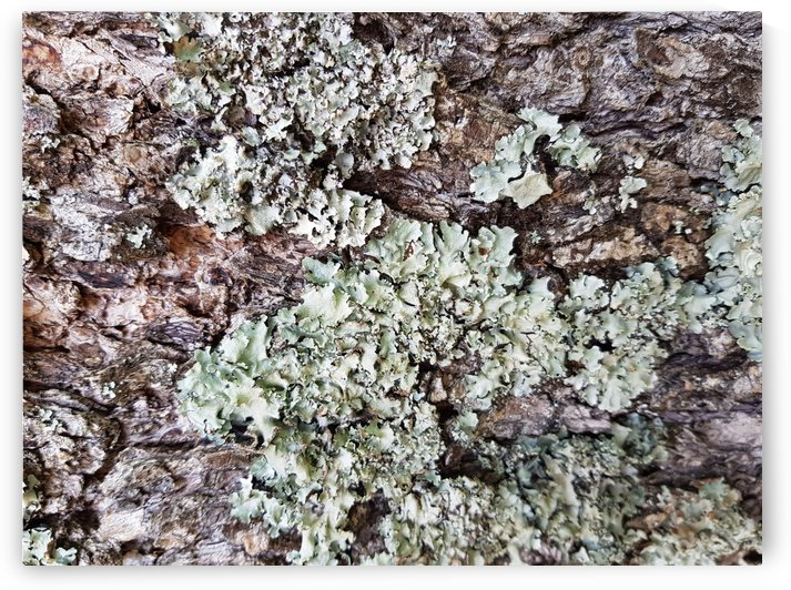 Lichen Photo Art by Sorensen Images