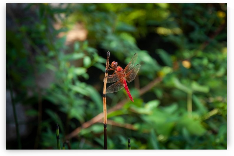 Red Dragonfly by Infinity Design and Photography