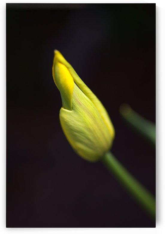 Royal Yellow Tulip Bud by Joy Watson