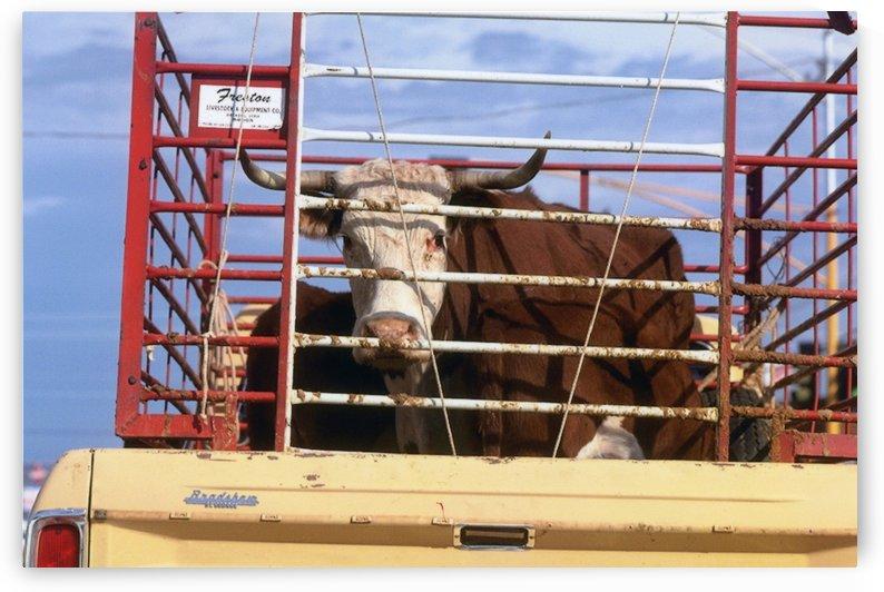 Steer Flagstaff Arizona Photograph by Katherine Lindsey Photography