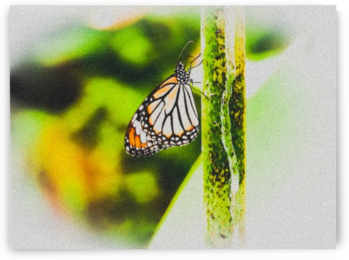 Butterfly by Kishore Dharuman