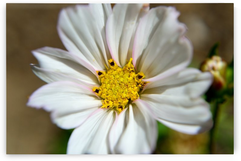 White Cosmos Blossom by Michelle K Wood