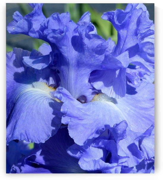 Metoleus Blue Bearded Iris by Michelle K Wood