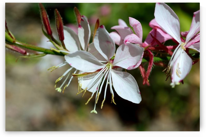 Gaura Lindheimer Wandflower Whirling Butterfly by Michelle K Wood
