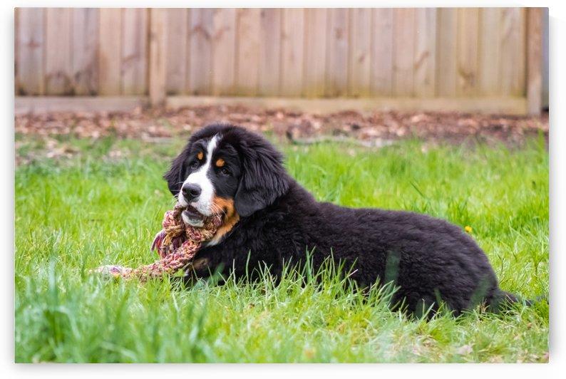 Bernese Mountain Dog Puppy 3 by Jules Siegel
