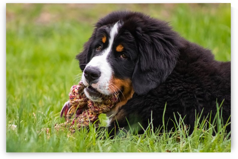 Bernese Mountain Dog Puppy 2 by Jules Siegel